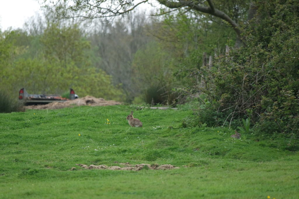 east sussex countryside rabbit