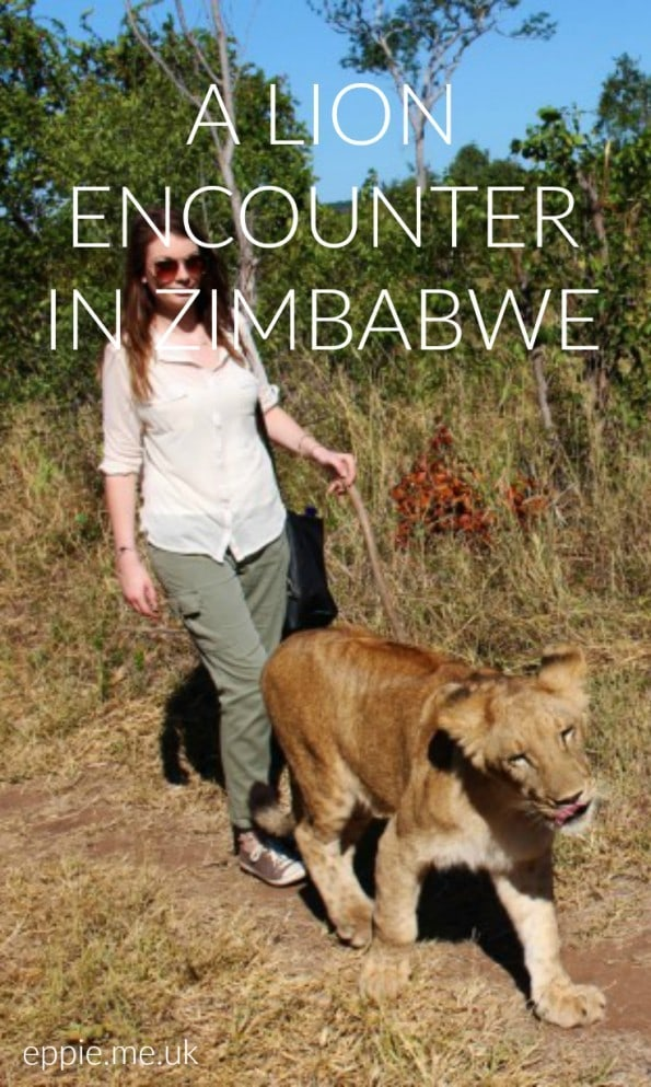 lion encounter in zimbabwe