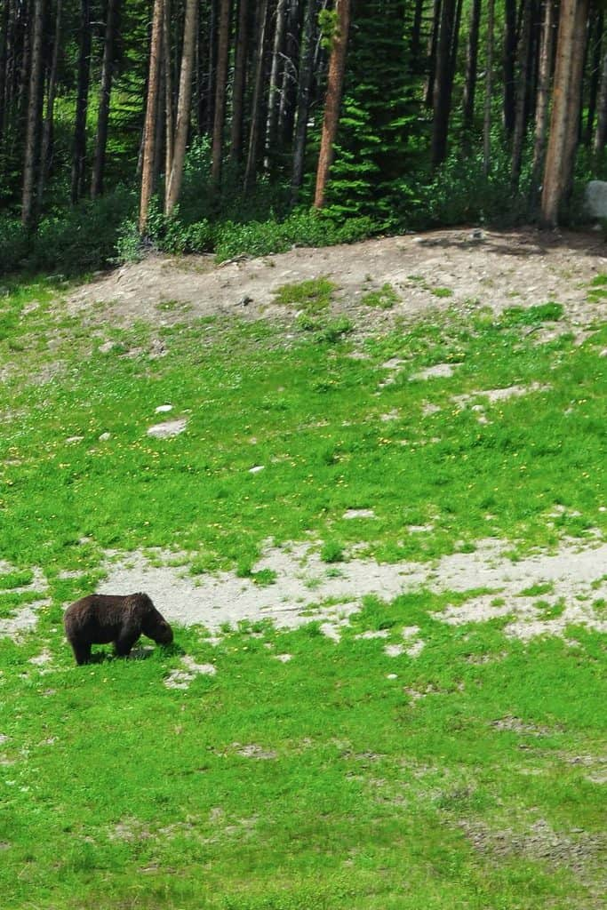 lake louise grizzly bear