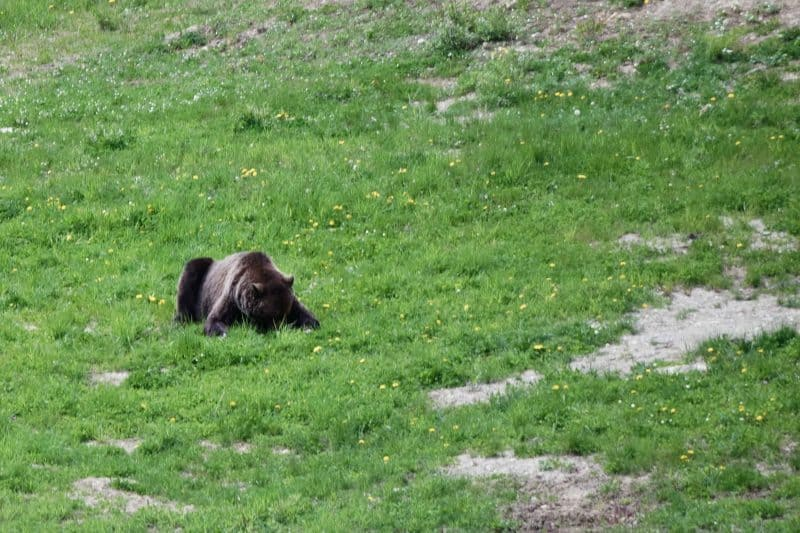 lake louise bear grizzly