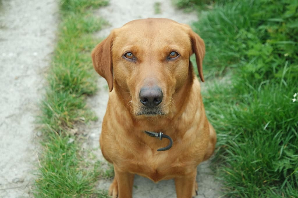 poppy fox red labrador