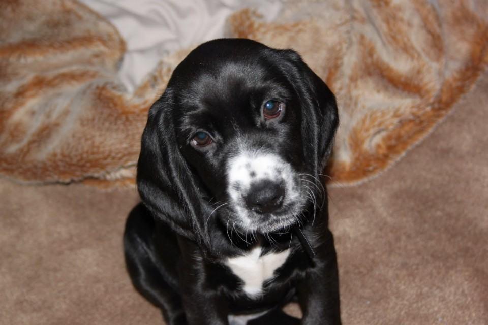 puppy beagle spaniel benny