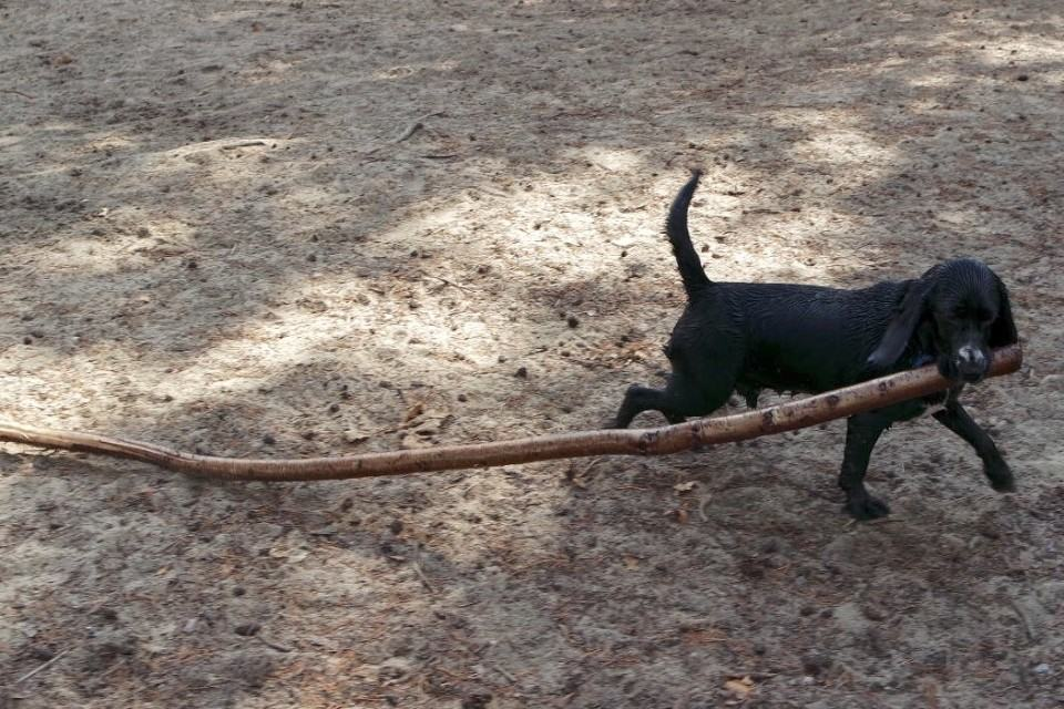 puppy birthday giant stick