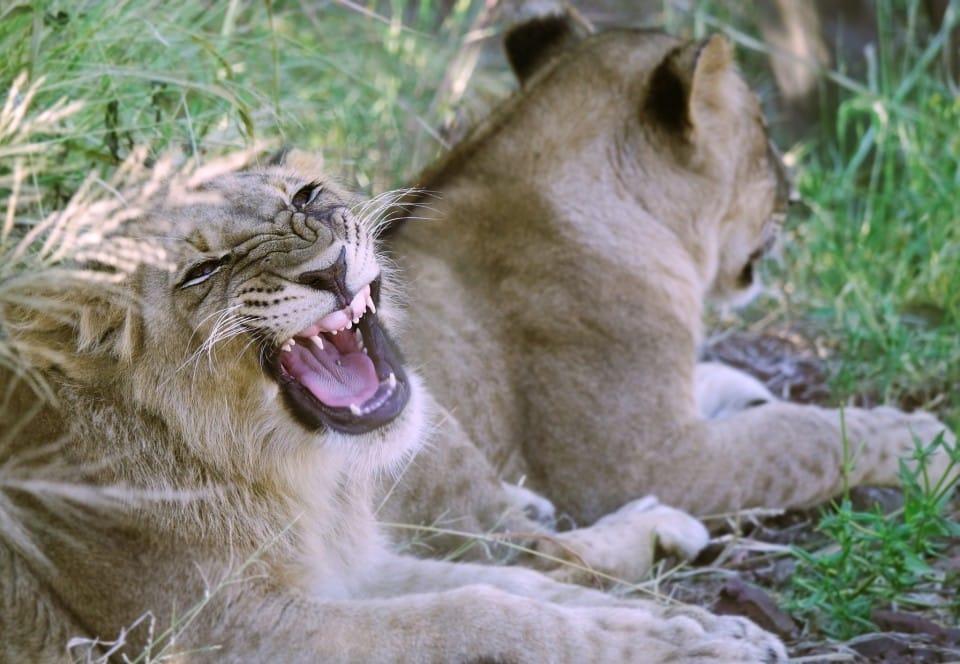 a lion encounter in zimbabwe